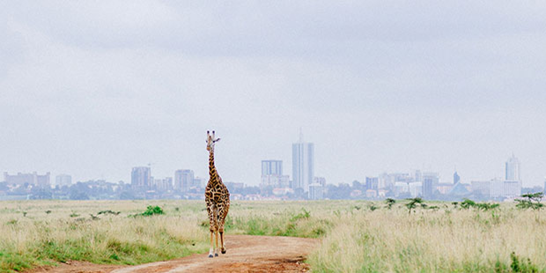 Giraffe walking in Nairobi National Park