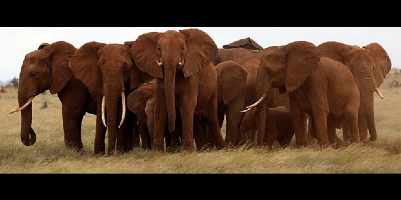 Elephant Herd in the Tsavo